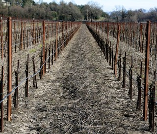 Starscape Vineyard pruned